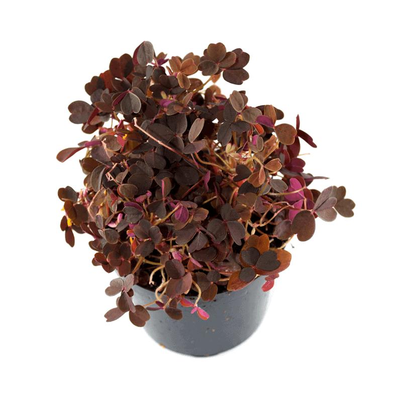 Rød skovsyre i potte 1 stk